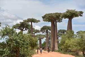 Baobab-thumb