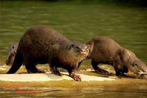 Otters-Thumb