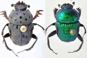 thumb-beetle