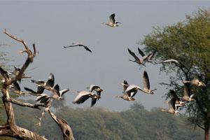 thumb migratory birds