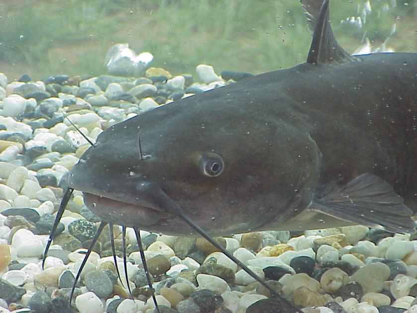 African Catfish